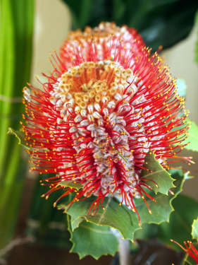 Coccinea Banksia, beautiful in arrangements for that special occasion.