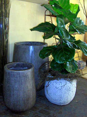 Large grey stone pots, White speckled grey pot with Ficus Lyrata indoor plant.